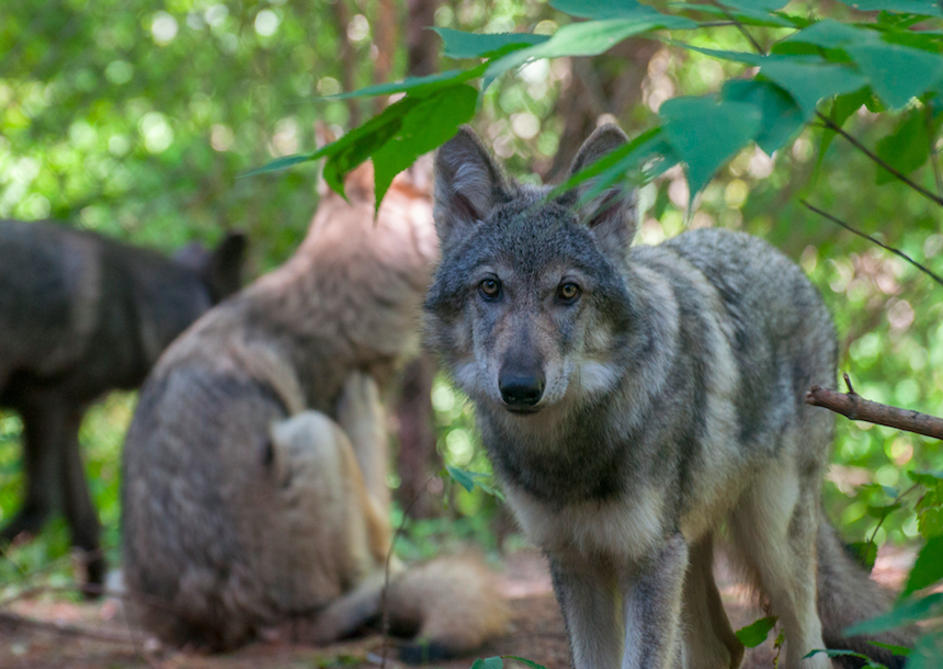 MN Zoo Hosts New Wolf Pups
