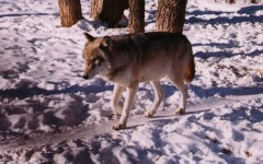 Minnesota ends first wolf season with  as much controversy as when it started