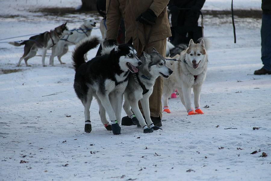 Booty-wearing Huskies walk the paths of the festival.