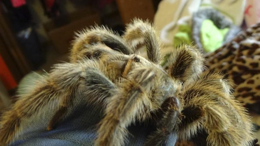 Emily Quealy's Chilean Rose Hair Tarantula is tame enough to spend time just hanging out on her bed.