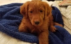 The goldendoodle puppy, sold at an auction to raise funds for BSM, took its first bath while under the temporary care of volunteer coordinator Lisa Lenhart-Murphy.