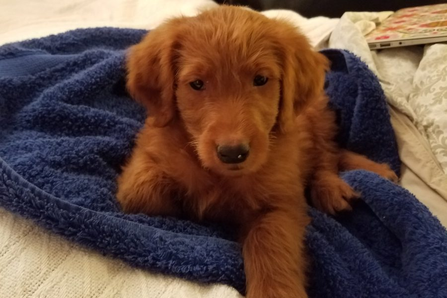 The+goldendoodle+puppy%2C+sold+at+an+auction+to+raise+funds+for+BSM%2C+took+its+first+bath+while+under+the+temporary+care+of+volunteer+coordinator+Lisa+Lenhart-Murphy.