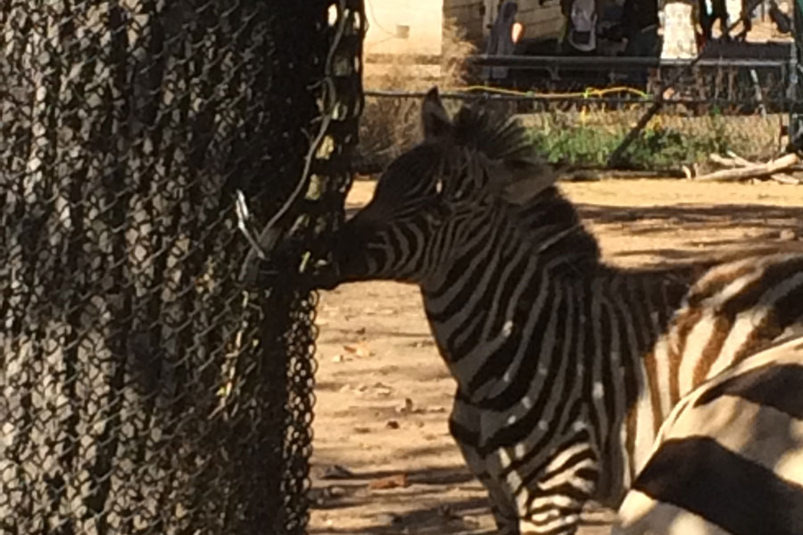 The Como Zoo has both indoor and outdoor exhibits, allowing it to host exotic animals such as Zebras yearlong.