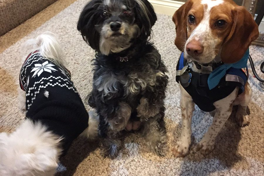These therapy dogs will be in the Wellness Room during student's free hours to help them destress and create a relaxing atmosphere for studying and relaxing. Pictured left to right: Mystee, Lyla, and Peeve.