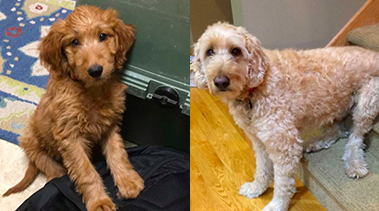 The Webers' adopted Ginger (left) after the passing of their late dog, Homer (right).