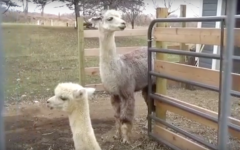 Band teacher owns alpaca farm