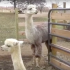 Band teacher owns alpaca farm