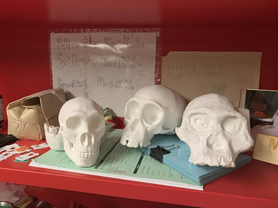 Skulls represent different stages in the human evolution.